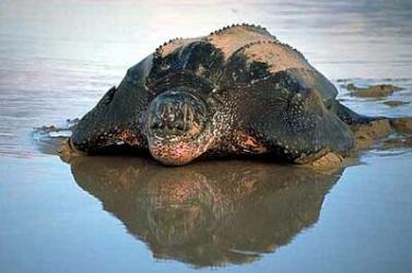A teknősök a gyíkokkal állnak közeli rokonságban