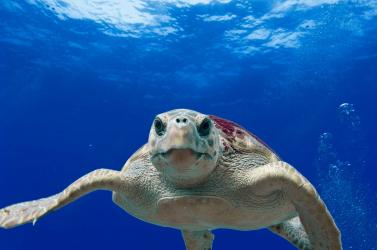 Teknősök segítségével jósolják meg az óceánok hőmérsékletének változását