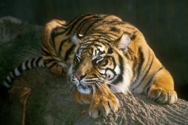 Szlovákiában már nem fordulhat elő, hogy tigriseket öljenek