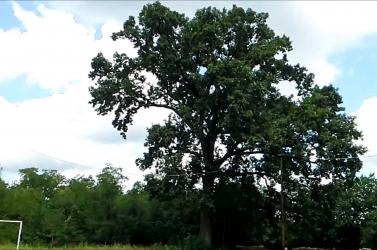 2 700 eurót érő, több mint száz éves tölgyfa mellett akart melegedni