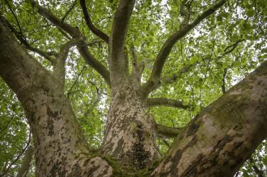 A 300 éves tornaljai platán vezet az Év Fája szavazáson!