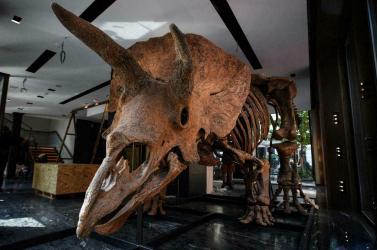Ha szeretnél haza egy ilyen triceratopszcsontvázat, ne habozz!