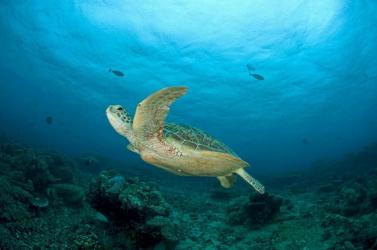 A kihalás szélére sodródtak a tengeri teknősök a Greenpeace szerint