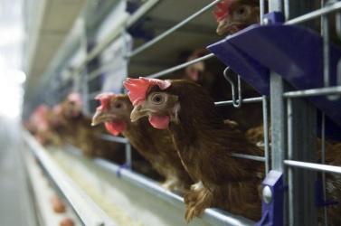 Szabadságot a tyúkoknak, csirkéknek, kocáknak, borjaknak!