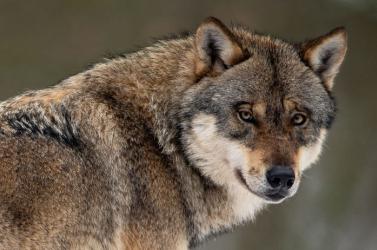 Védetté nyilvánították a szürke farkast Szlovákiában