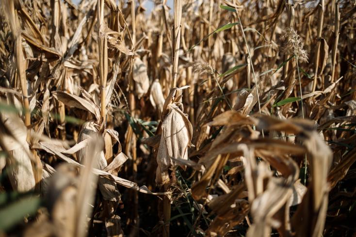 A cukorrépa fele, a kukorica negyede még a földeken van