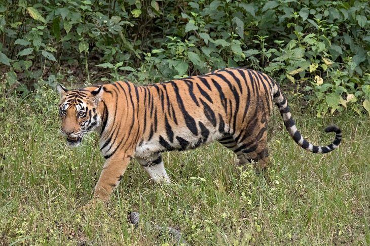 A legnagyobb szabású vadfelmérés Guinness-rekordját állította fel India a 2018-19-es tigrisszámlálással