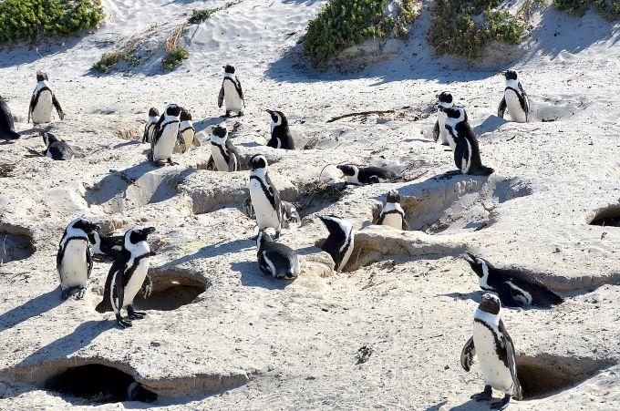 Méhek öltek meg 63 veszélyeztetett pingvint