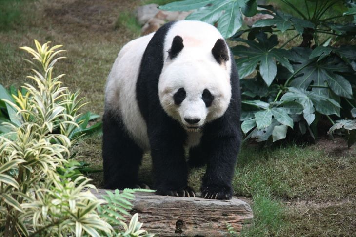 Rekordsúlyú pandabocs született egy kínai rezervátumban