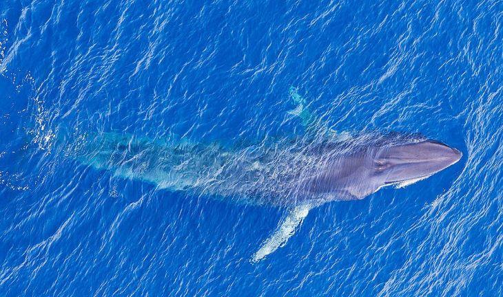 Víz alatti bombadetektorok révén fedezték fel a törpe kék bálnák egy új populációját