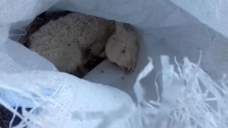 BORZALOM: Bárányokat dobtak ki zsákokban a falu végén