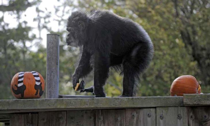 Elpusztult az észak-amerikai állatkertek legöregebb hím csimpánza