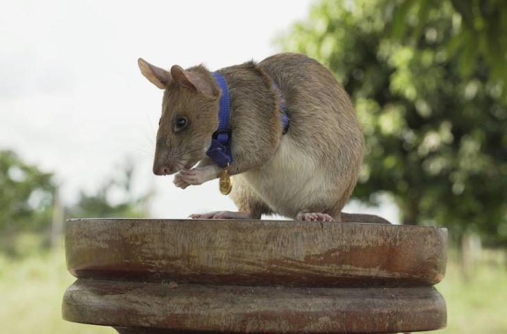 """Újabb """"patkány-utászosztagot"""" vetettek be aknakutatásra"""