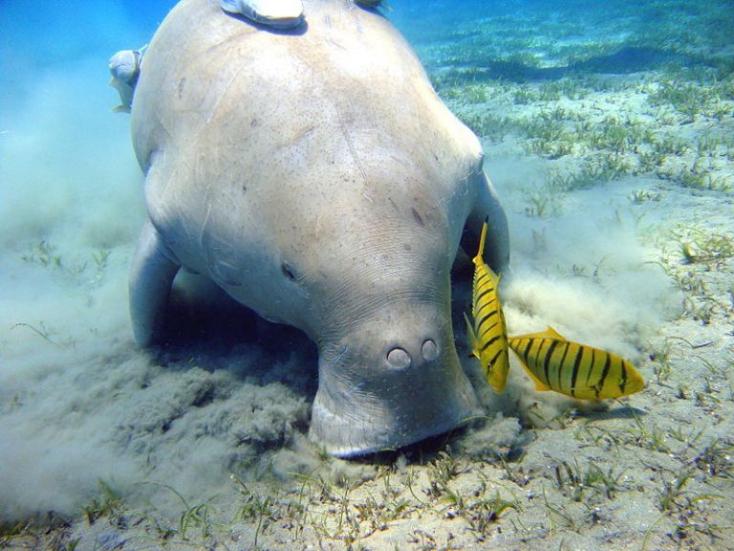 A műanyagok okozták a híres tengeri tehén halálát