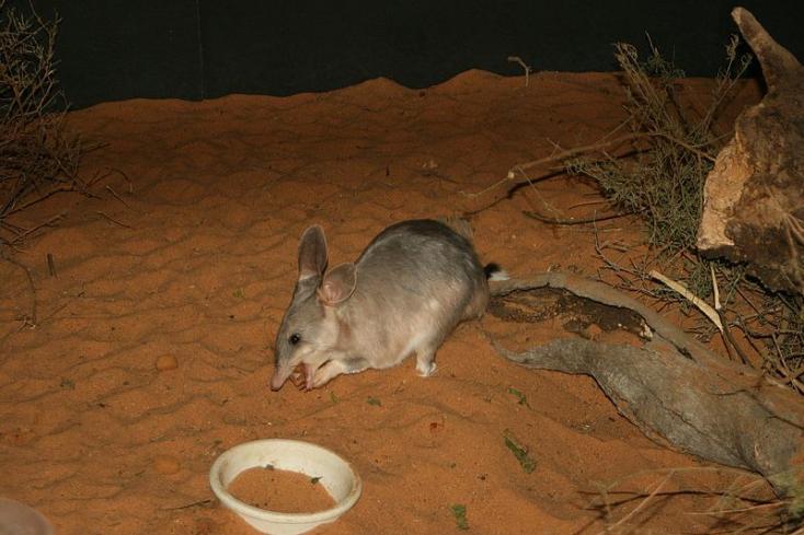 Több mint száz év után újra a szabadban az ausztrál erszényesnyúl