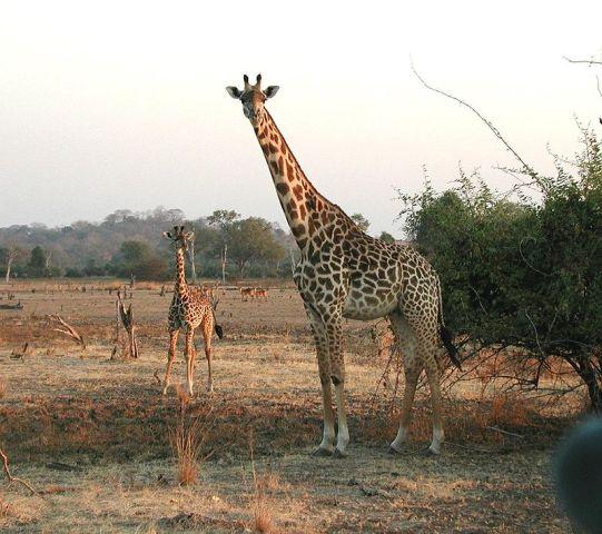 Programot indít a zsiráfpopuláció növelésére Kenya