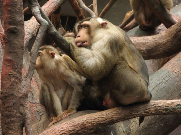 Fenntarthatóbbá teszik a pálmaolaj-termelést a patkányra vadászó majmok