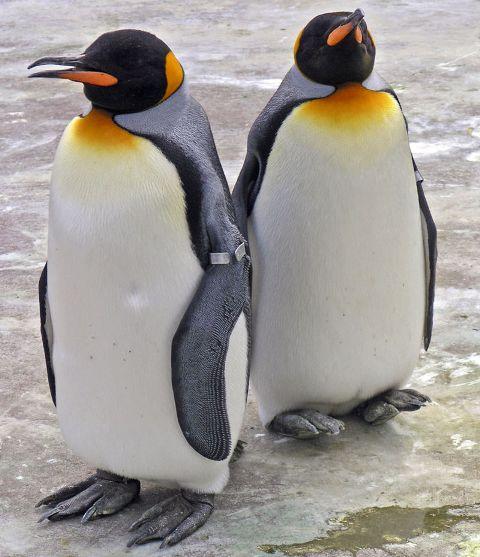 Az extrém hideg miatt nem engedték ki az állatkert királypingvinjeit