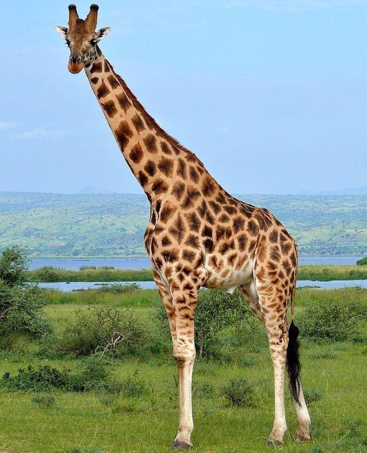Áramütés végzett három zsiráffal egy kenyai rezervátumban