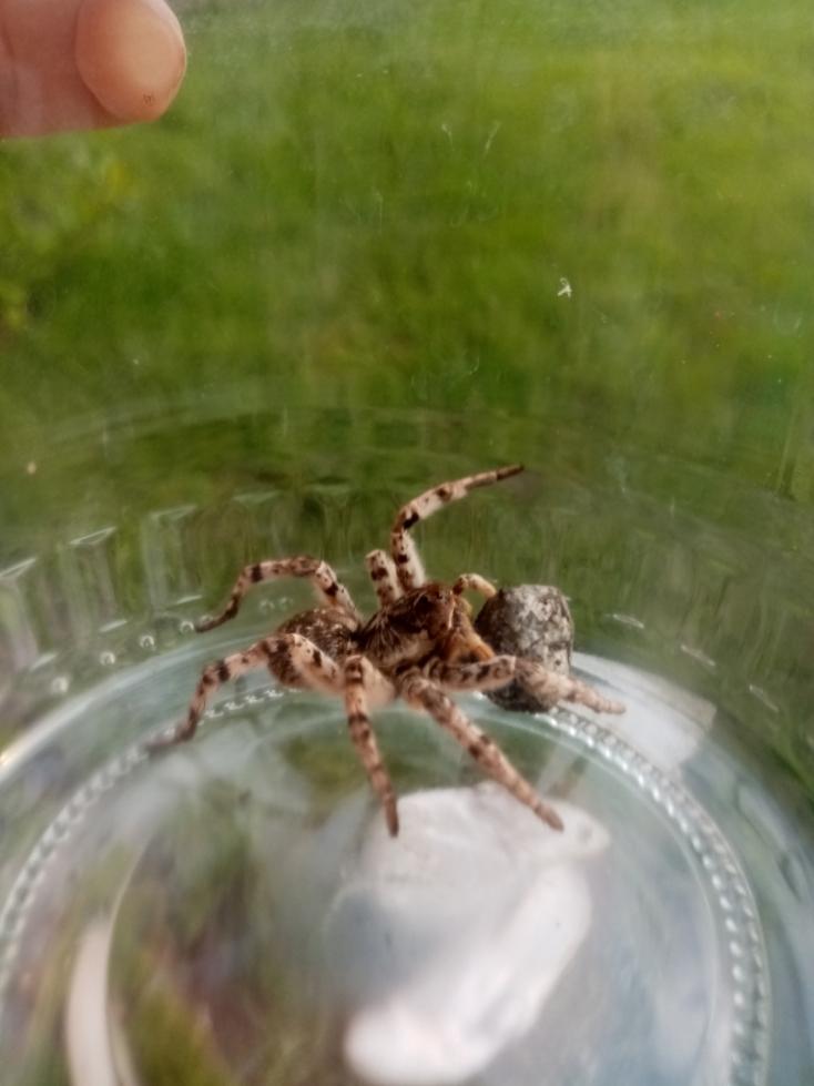 Különös pók bujkált egy dunaszerdahelyi lakos kertjében