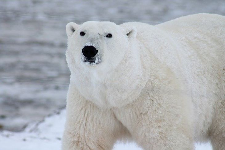 Összeírják a jegesmedvéket Oroszországban