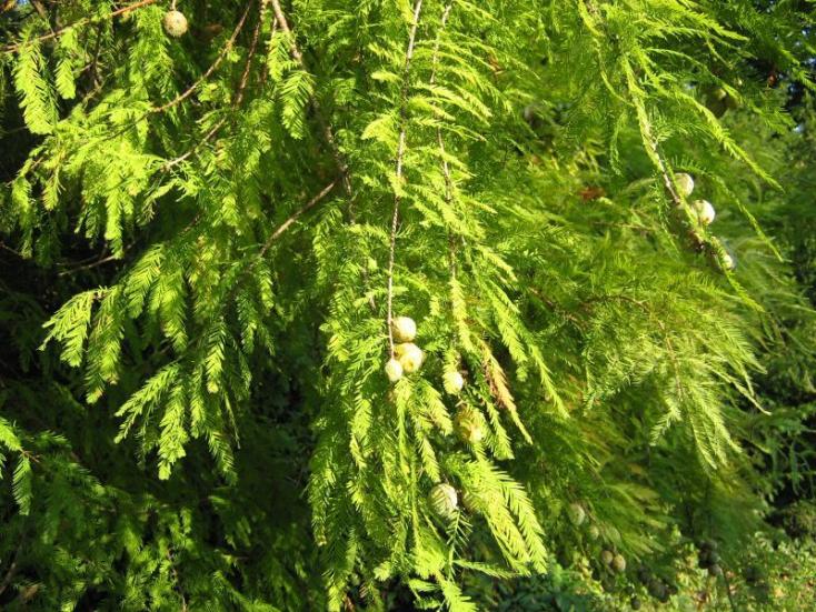 2624 éves amerikai mocsárciprus az Egyesült Államok keleti felének legidősebb ismert fája