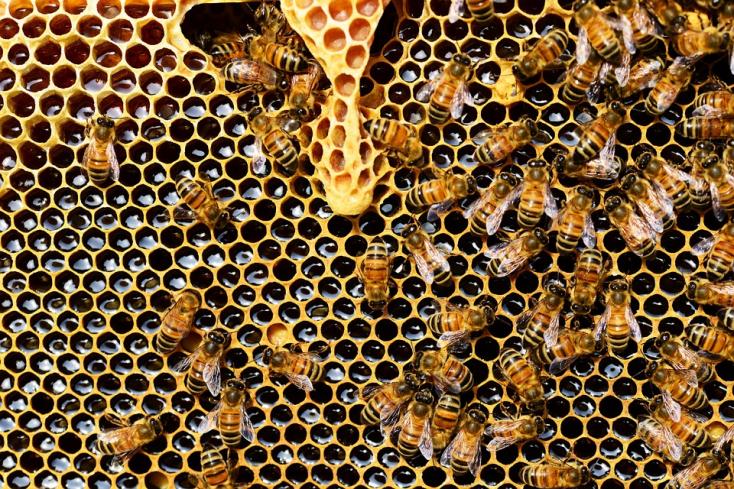 Alapvető matematikai feladatok megoldására képesek a méhek, és ez nem vicc!