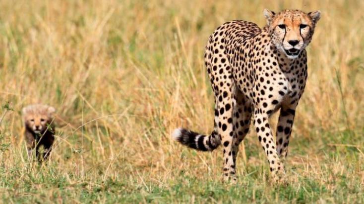 Veszélyeztetett szaharai gepárdot vettek filmre természetvédőkAlgériában