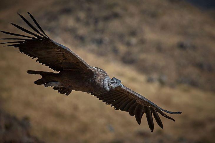 Szinte szárnycsapások nélkül repül az andoki kondorkeselyű