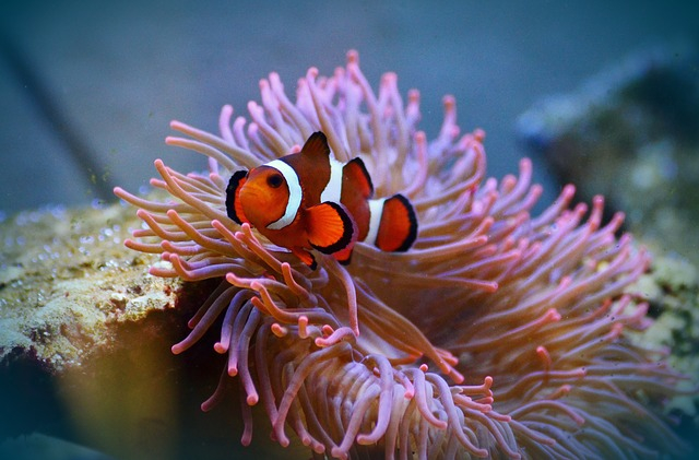 A bohóchalak szaporodását veszélyezteti a korallzátonyok fényszennye