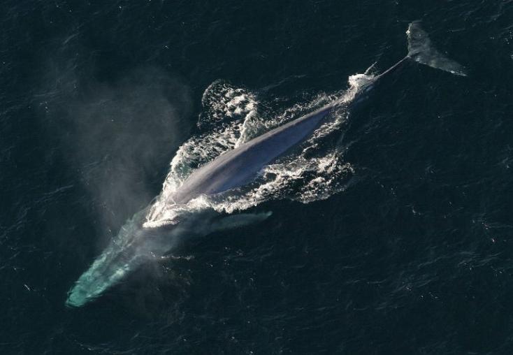 Először sikerült megmérni egy kék bálna pulzusát