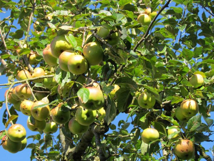Hogyan ültessünk gyümölcsfát – hogy biztosan megéledjen?