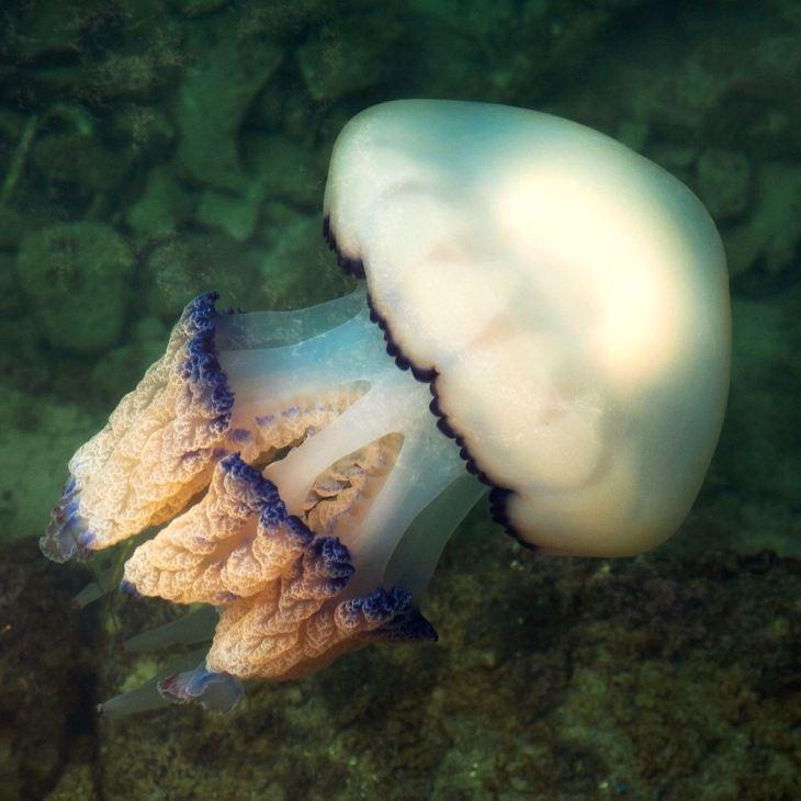 Emberméretű medúzát fedeztek fel búvárok az angol partoknál (FOTÓ)