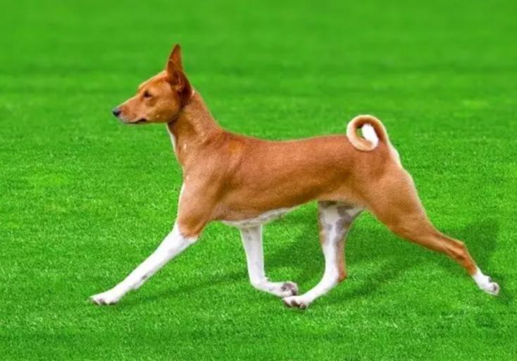 Egy ősi kutyafajta genetikai térképe segítheti a kutyák evolúciójának jobb megértését