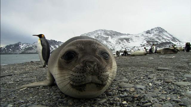Az antarktiszi vizekben élő fókák segítik a jégtakaró olvadásának kutatását