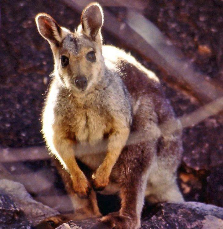 Kétezer kilogrammnyi élelmet dobtak már le Ausztráliában az éhező wallaby kenguruknak