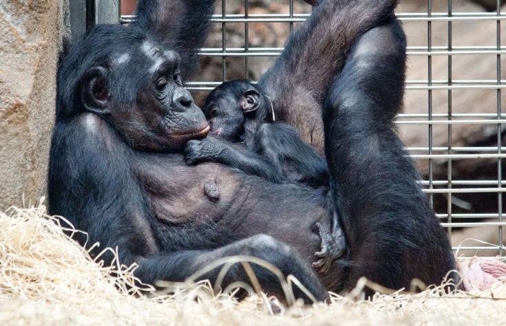 A bonobó anyák segítik fiaikat a párválasztásban
