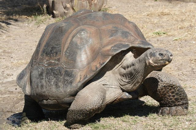 Kiderült, miért élnek olyan sokáig a galápagosi óriásteknősök
