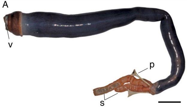 Először találtak élő óriás hajóférget