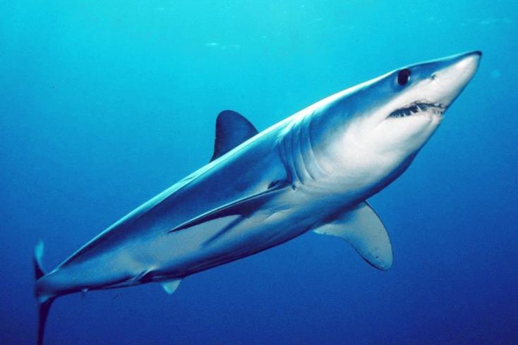 A cápák leggyorsabbik fajtája bukkant fel a horvát tengerpartnál (VIDEÓ)