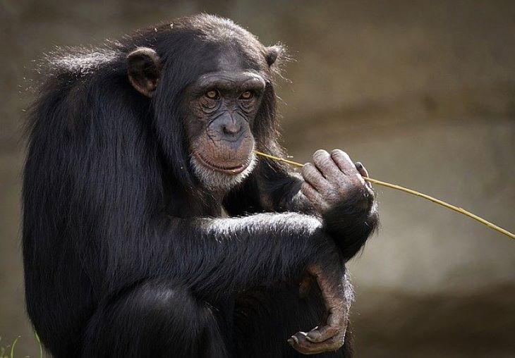 Az emberhez hasonló módon öregszenek a csimpánzok