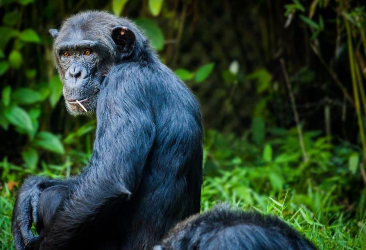 Az emberi agy fejlődésében szerepet játszó gént ültettek majomgenomba