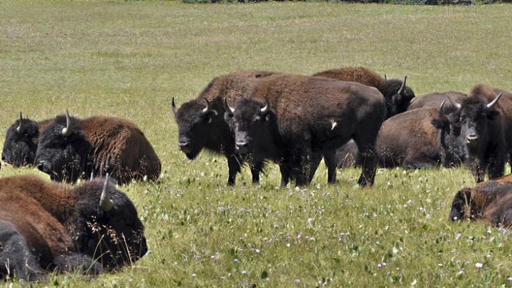Lottósorsoláson dől el, ki lőhet le 400 bölényt