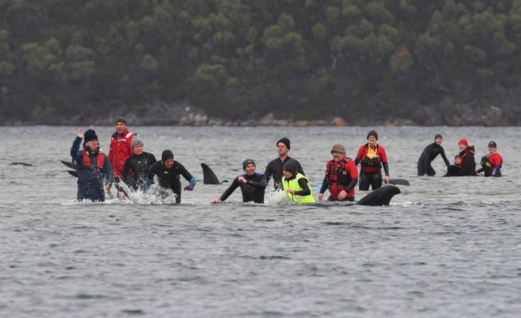 Kilenc gömbölyűfejű-delfin pusztult el Spanyolország északi partvidékén