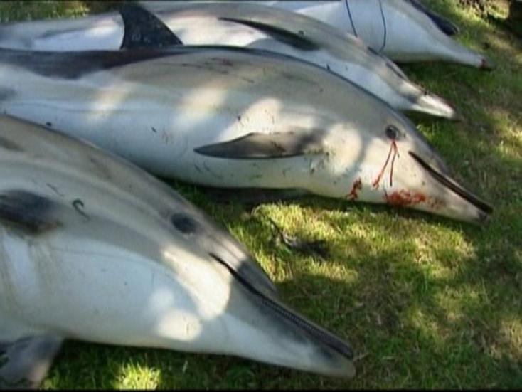 Több mint kétszáz delfinnek sikerült visszaúsznia a partról a vízbe