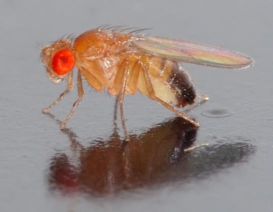 A muslicák életét meghosszabbító gyógyszer-kombinációt hoztak létre kutatók