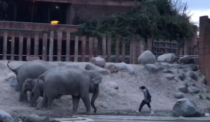 Borjukat védelmező elefántokat akart dühíteni egy férfi Dániában, hát beugrott közéjük (VIDEÓ)