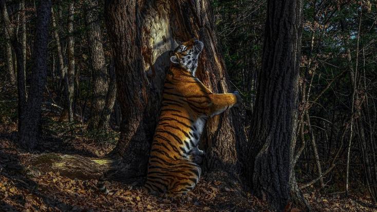 Orosz fotós nyerte az év természetfotósa díjategy fát átölelő szibériai tigrisről készült képével