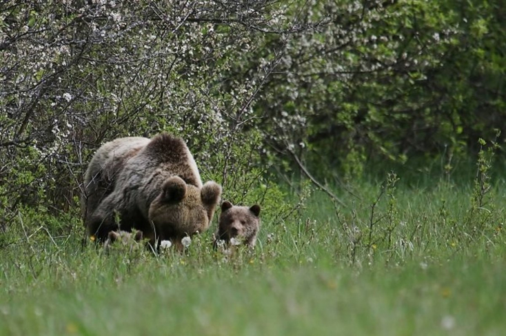 Újból emberre támadt egy medve Székelyföldön