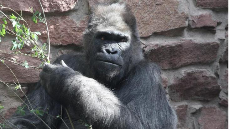 Eutanázia: Elaltatták a legöregebb európai állatkerti gorillát, Fritzet